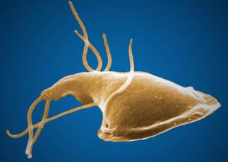 This Giardia parasite might live in the gut of anyone who drinks untreated water. Photo courtesy of Center for Disease Control