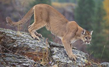 Call them what you will, but this feline-based creature can spark a debate anytime it is discussed. The U.S. Fish & Game Service declared the Eastern Mountain Lion extinct in 2018, yet sightings continue to roll in. Photo courtesy of U.S. Forest Service
