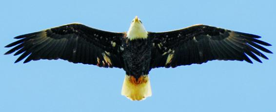A bald eagle, in-flight over Lake Junaluska in Haywood County. Photo by Amy Boggan/Contributing Photographer